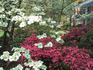 Azaleas and dogwoods sm.jpg
